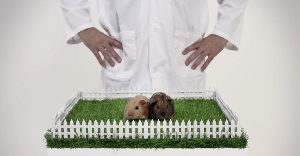 Tüy Topları: Gine Domuzları Üzerinden Testis Kanseri Kontrolü