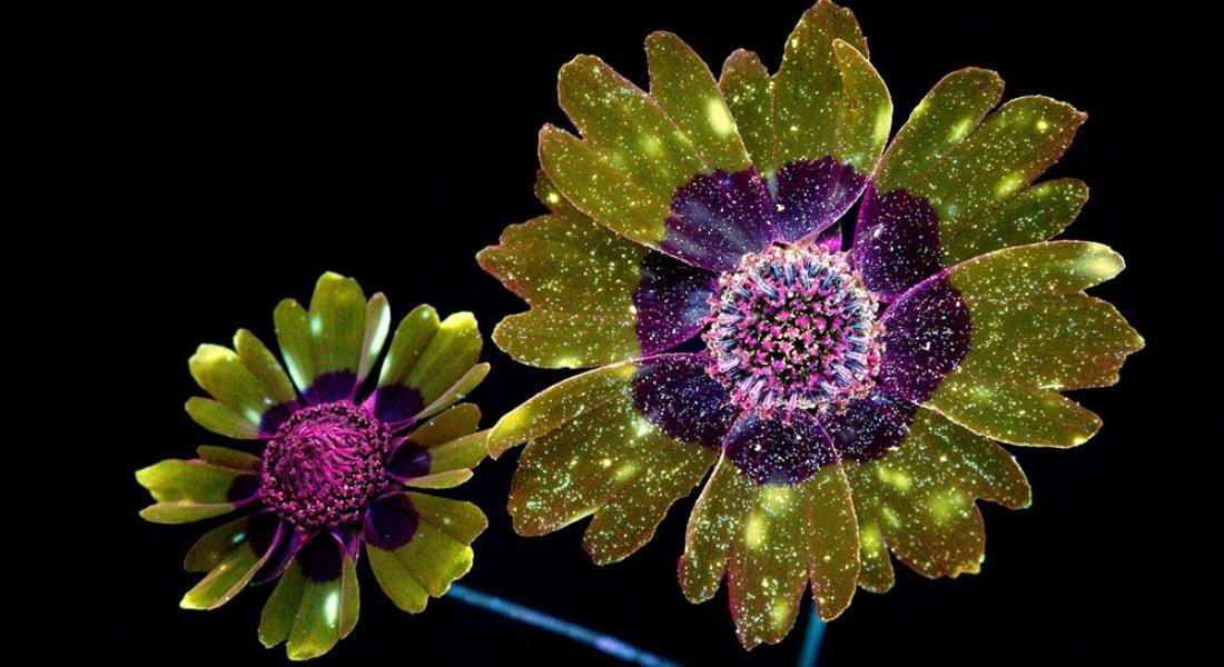 Çiçeklerin Yaydığı İnsan Gözünün Görmediği Işıklar