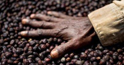 Yabani Kahve Türlerinin % 60'ı Tehlike Altında